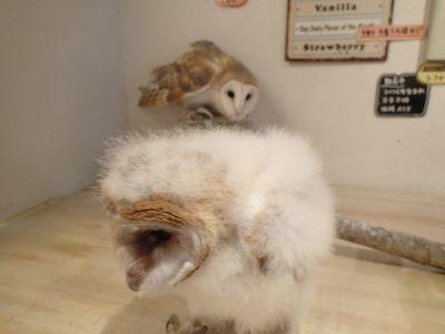メンフクロウ 雛