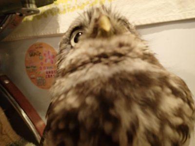コキンメフクロウ