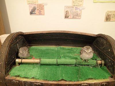 インドコキンメフクロウ