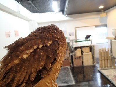 アフリカヒナフクロウ