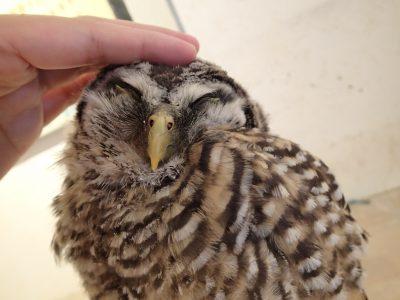 チャコモリフクロウ