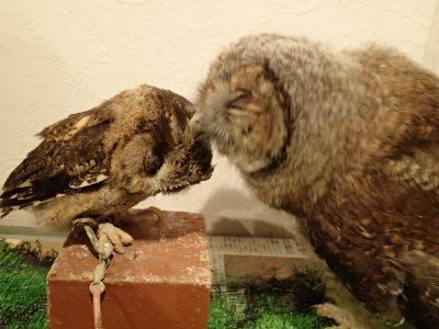 モリフクロウ インディアンスコップオウル
